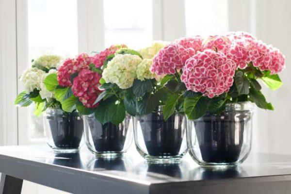 Boeketten met Hortensia bloemen